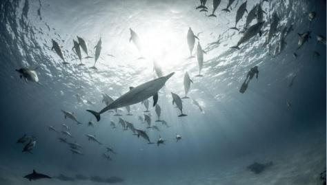 Dauphins Sea shepard